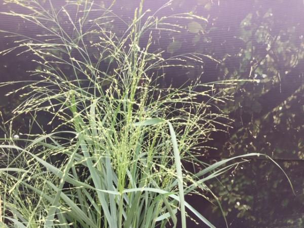 """Panicum virgatum """"Praerie Sky"""" (i.12cmT.)"""