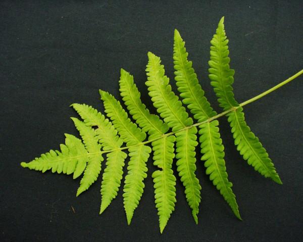 Matteucia orientalis (i.16cmT.) Japan-Straußfarn