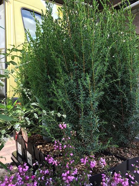 """Juniperus communis """"Arnold"""" (i.17 cm T.)"""