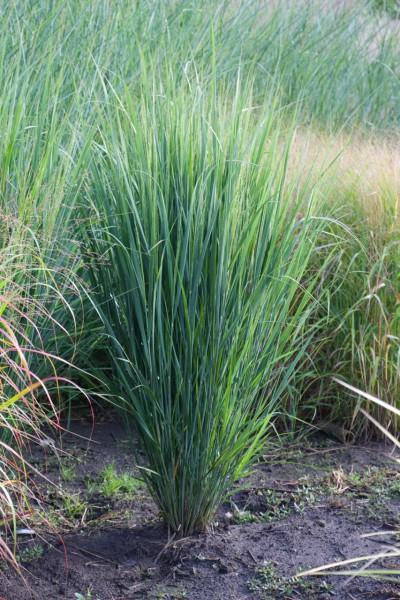 "Panicum virgatum ""North Wind"" (i.9cmT.), Riesen Ruten Hirse"