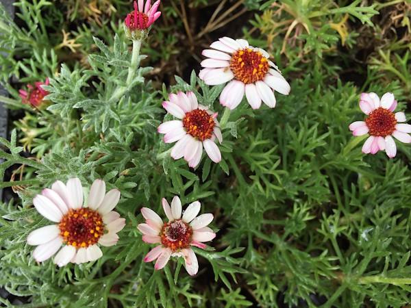 "Leucanthemum hosmariense "" African Spring"" (i.11cmT.)"