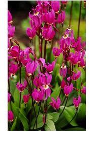 """Dodecatheon pulchellum """"Redwings"""" (i.9cmT.) Götterblume, Sternschnuppenblume"""