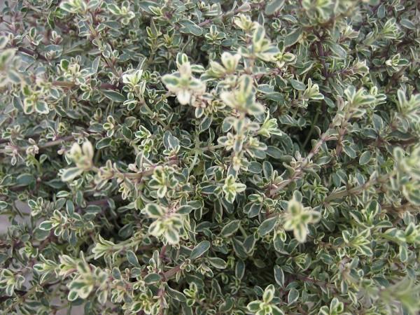Thymus vulgaris ´Silver Poesie`(i.14cmT.) Silberthymian