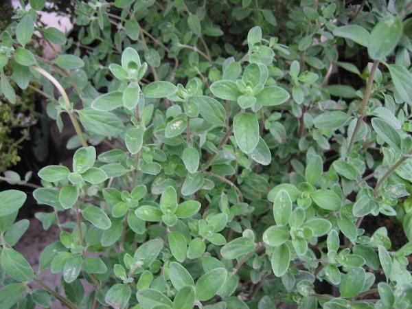 Majorana hortensis ( i.14cmTopf) Echter Majoran