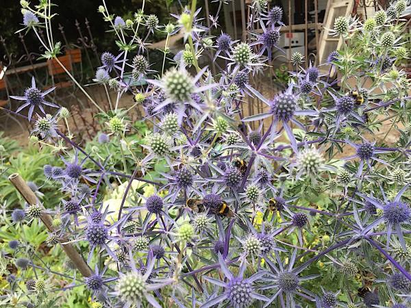 "Eryngium x cultorum ""Magical Blue Falls"" (i.14cmT.)"