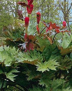 Rheum palmatum tanguticum (i.9cmT.) Chinesischer Zier -Rhabarber