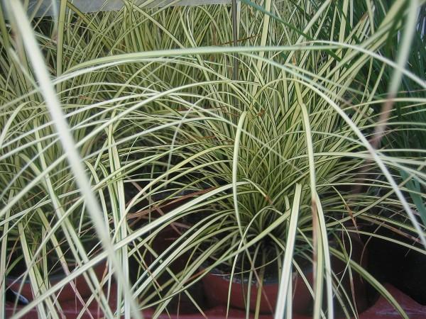 "Carex brunnea ""Jenneke"" (i.11cmT.) Segge"