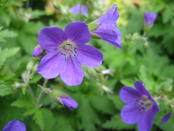 "Geranium sylvaticum ""Mayflower"" (i.11cmT.) Storchenschnabel"
