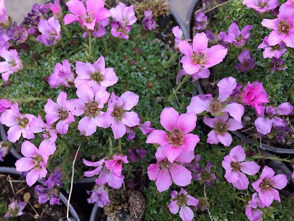 "Saxifraga kabschia "" Pink Delight "" (i.10cmT.)"
