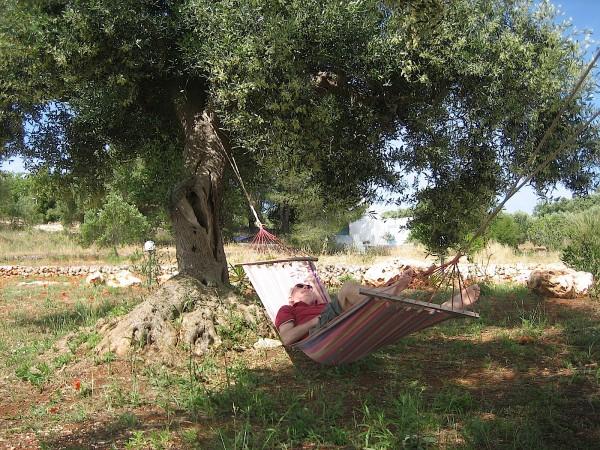 """Olea europea """"Cipressino"""" (i.12 cmT.) Oliven Baum"""