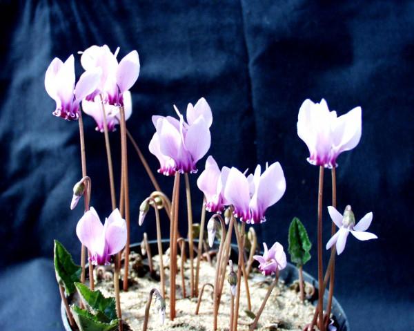 Cyclamen hederifolium ´Hellrosa`(i.9cmT.)