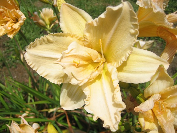 "Hemerocallis ""Bubbling over"" (i.11cmT.) Duft Taglilie aus Neuseeland importiert"