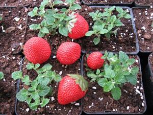 Mentha ´Erdbeer` (i.12cmT.) Erdbeer Minze