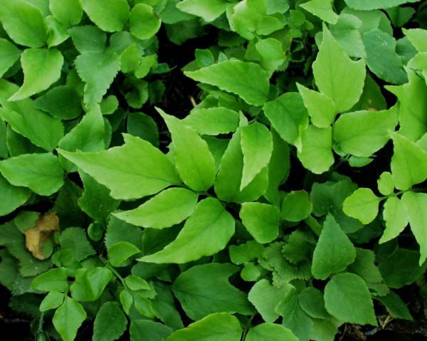Cyrtomium fortunei var.clivicola (i.9 cmT.) Kleiner Ilexfarn