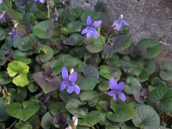 "Viola odorata ""Clive Groves"" (i.12cmT.) Duftveilchen"