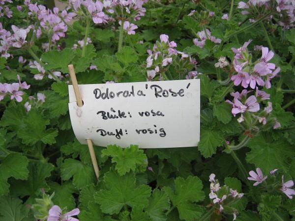 """Pelargonium """"Odorata Rose"""" (i.11cmT.)"""