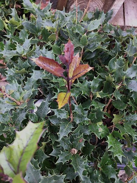 """Osmanthus Duft heterophyllus """"Purpureus"""" (i.15cm T.)jetzt 30-40cm"""