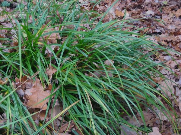 Carex pendula Riesen Wald Segge (i.11cmT.)