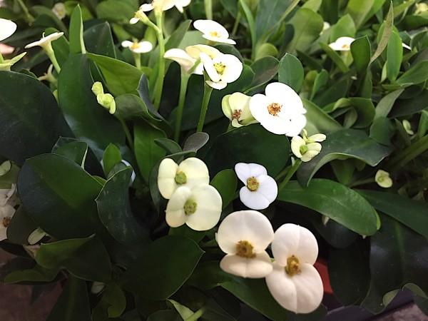 Euphorbia milii weiß (i.11cmT.), Christusdorn