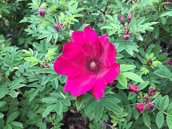 "Rosa rugosa ""Strandperle® Norderney"" (i.3lT.)"