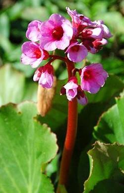Bergenia cordifolia ´Herbstblüte` (i.9cmT.)Bergenie