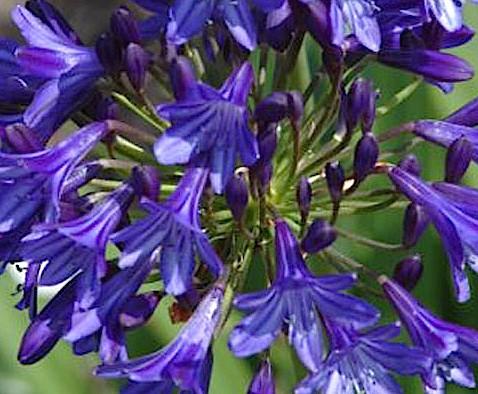 "Agapanthus Hybrid-Cultivar ""Midnight Dream""R (i.9cmT.) Schmucklilie (i.9cmT.)"