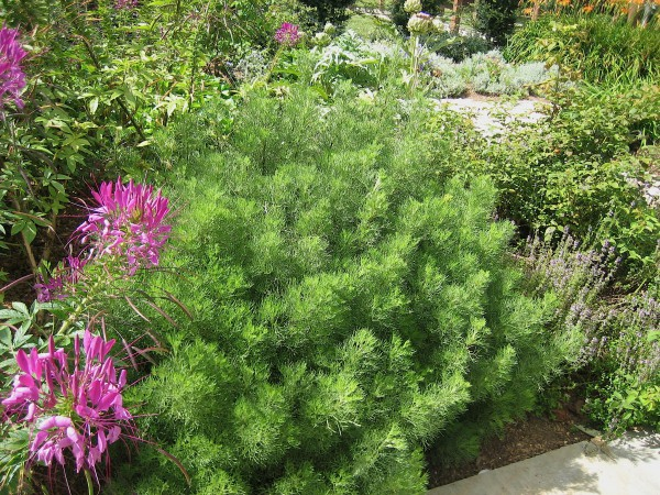 Artemisia abrotanum camphoratum (i.12cm T.) Colastrauch