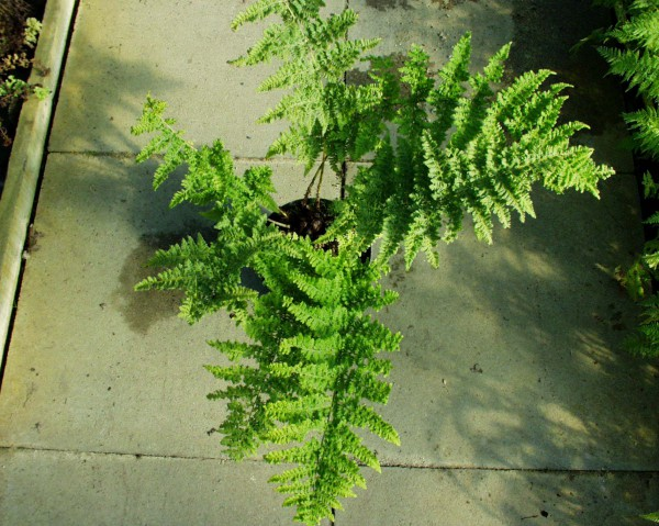 Dryopteris dilatata ´Crispa Whiteside`(i.11cmT.) Breitwedeldornfarn
