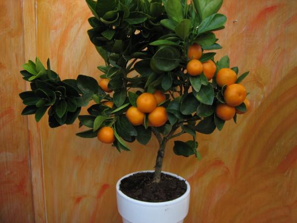 """Citrus """"Fortunella (i.15cmT.), Zwerg Orangenstrauch"""