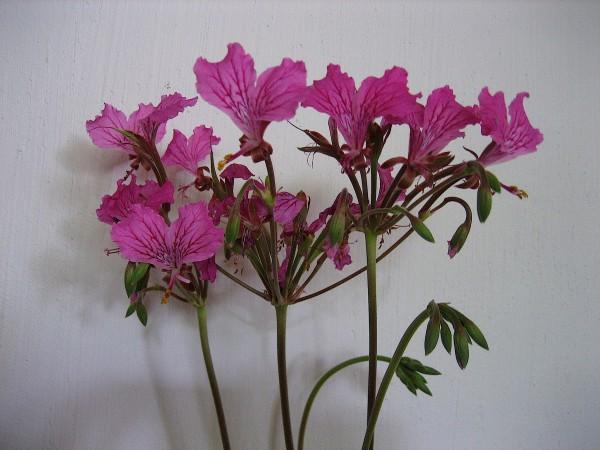 Pelargonium endlicherianum (i.9cmT.)