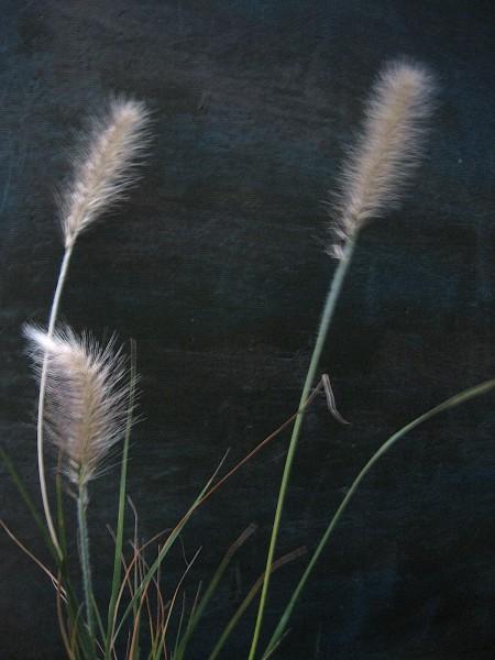 "Pennisetum alopecuroides ""Hameln"" (i.17 cmT.) Lampenputzgras"