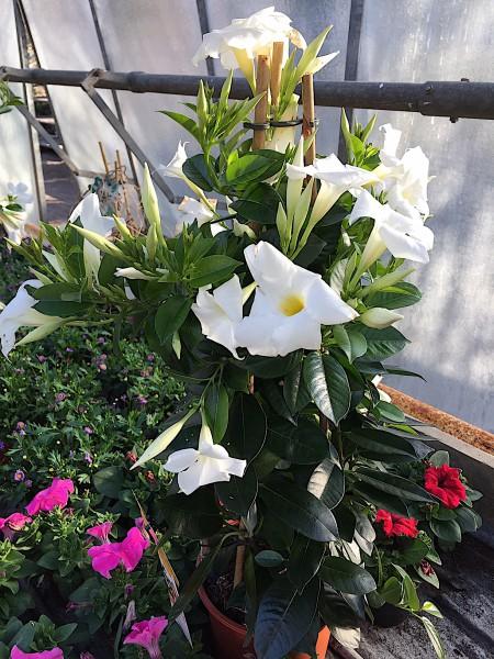 """Mandevilla, Sundaville """"Summerstar""""® White (i.19cmT.) jetzt 50-60 cm)"""