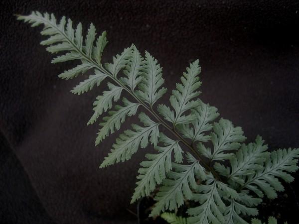 "Athyrium nipponicum ""Silver Falls""(i.16cmT.) japanisch gemalter Farn"