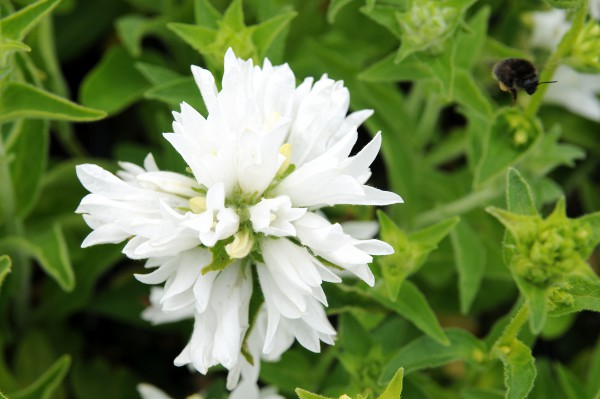 "Campanula glomerata ""Alba"" (i.9cmT.) Knäuel-Glockenblume"