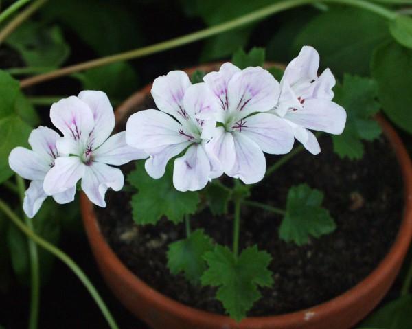 Pelargonium ´Pink Chintz`(I.11cmT.)