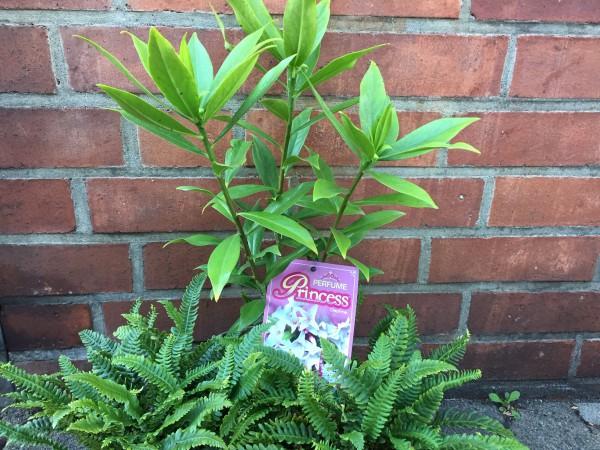 Daphne Duft odora x bholua Prinzess, Seidelbast in weiss (i.17cmT.)