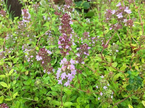 Thymus serpyllum (i.12cmT.) Quendel, Feldthymian, Feldkümmel