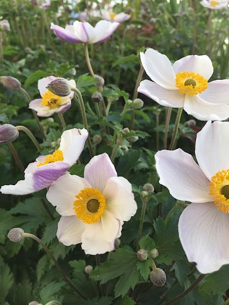 "Anemone ""Elfin Swan"" (i.17 cmT.), Japan - Anemone"