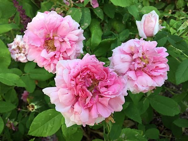 "Rose ""Madame Boll"" (i.3 l Topf), essbare Duft - Rose"