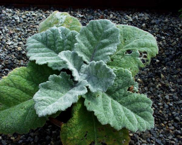 Salvia argentea (i.17 cmT.) Silberblattsalbei