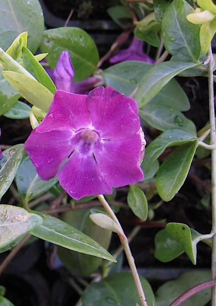 """Vinca minor """"Atropurpurea"""" (i.9cmT.) Immergrün"""