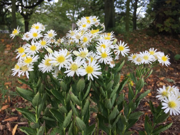 "Aster ageratoides ""Starshine""(R) (11cmT.)"